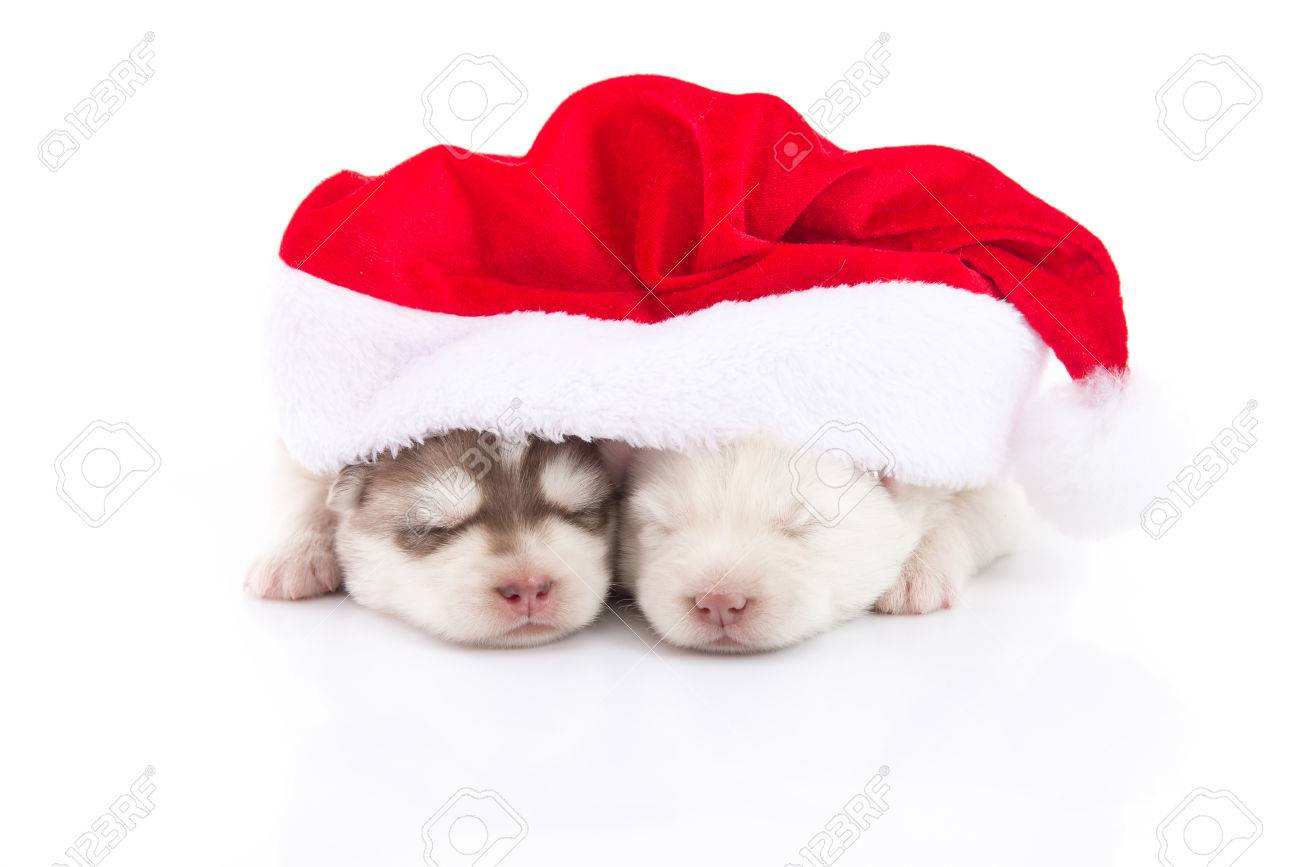 Two Siberian Husky Puppies In Santa Claus Xmas Red Hat On White