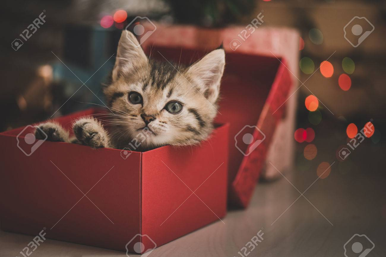 Cute Tabby Kitten Playing In A Gift Box With Christmas Decoration ...