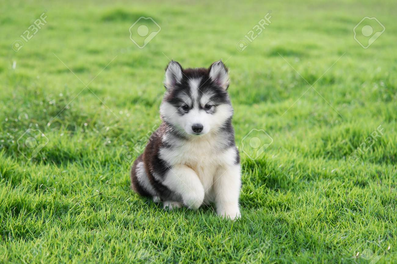 cute siberian husky puppy on grass stock photo, picture and royalty