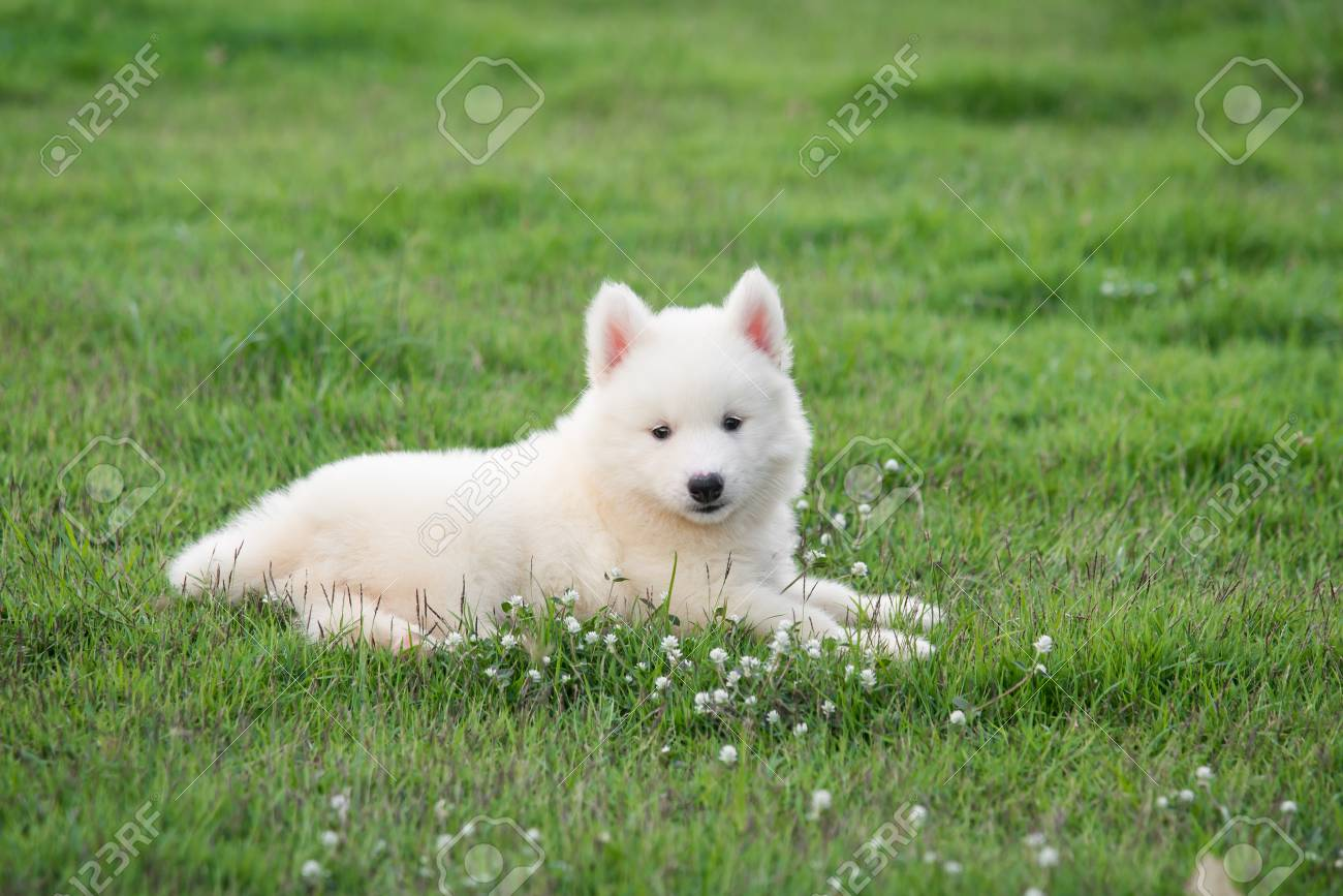Cute White Siberian Husky Puppy On Grass Stock Photo Picture And