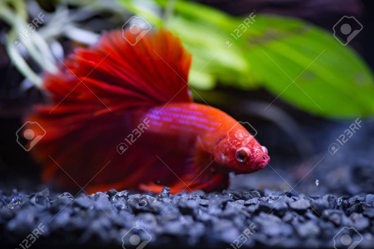 Close Up Of Red Half Moon Siamese Fighting Fish In A Fish Tank Stock ...