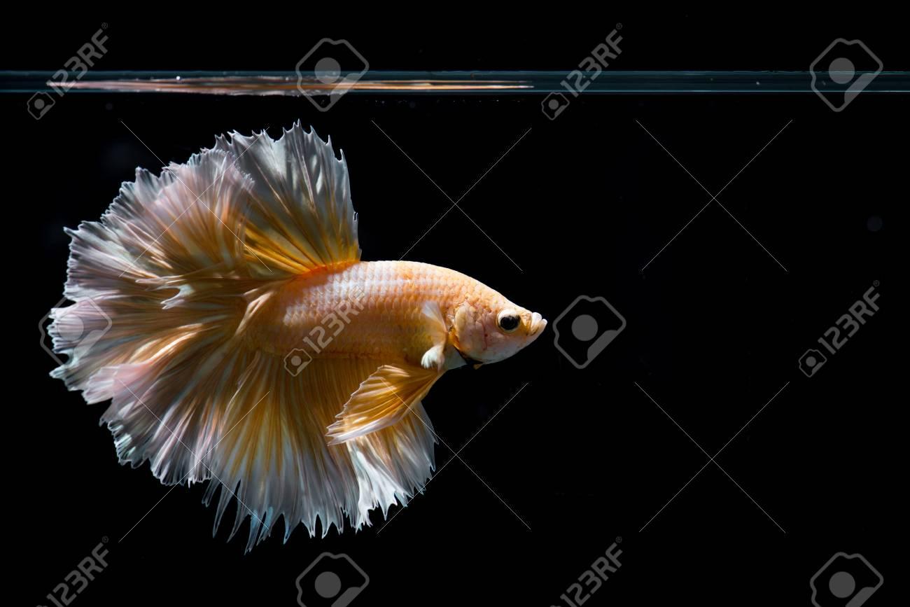 Gold betta fish, siamese fighting fish on black background - 87893520