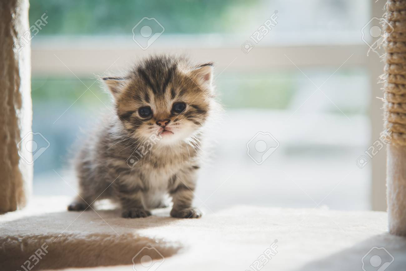Cute Persian Kitten Walking On Cat Tower Stock Photo Picture And Royalty Free Image Image 97729950