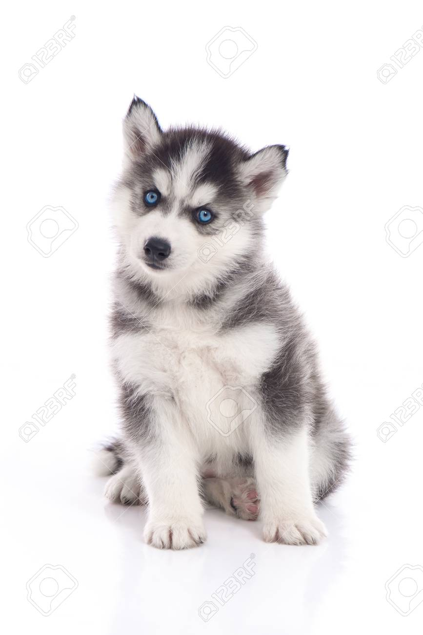Blue Eyes Siberian Husky Puppy Sitting On White Background Isolated Stock Photo Picture And Royalty Free Image Image 101355045