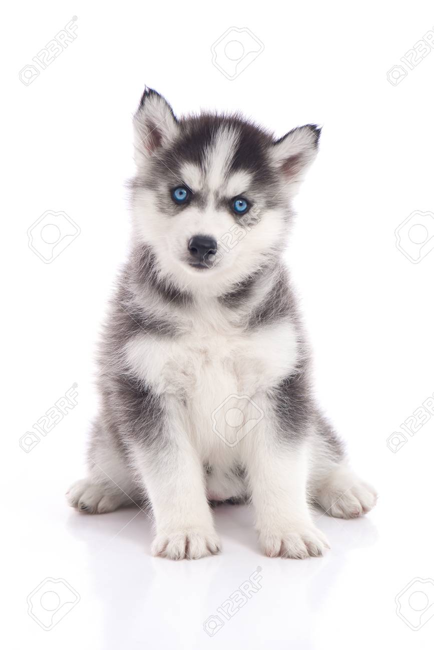 Blue Eyes Siberian Husky Puppy Sitting On White Background Isolated Stock Photo Picture And Royalty Free Image Image 101362270