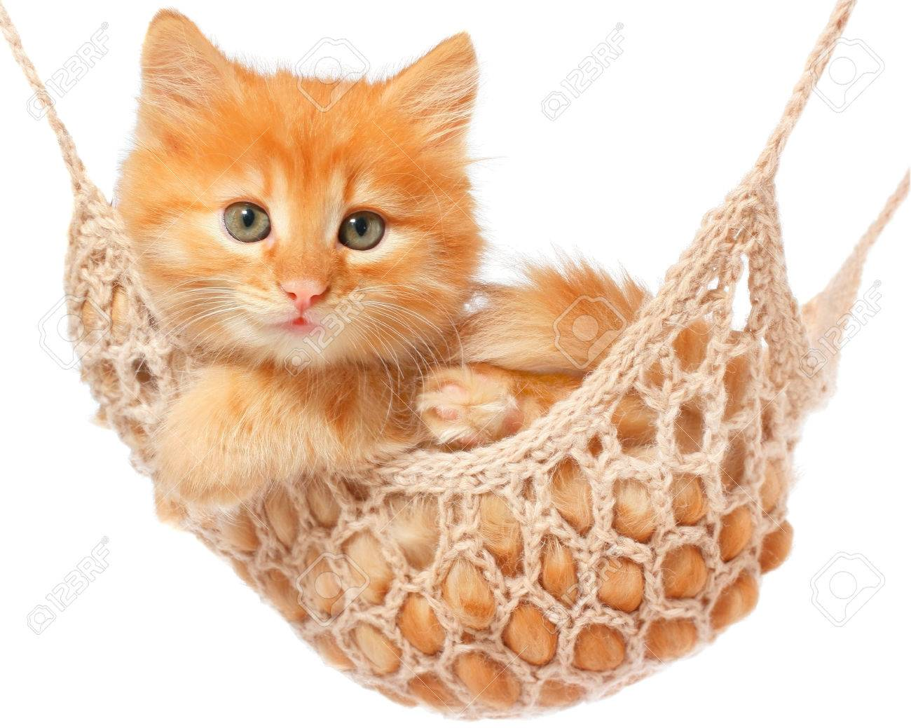 Cute red haired kitten lay in hammock on a white background. - 50652363