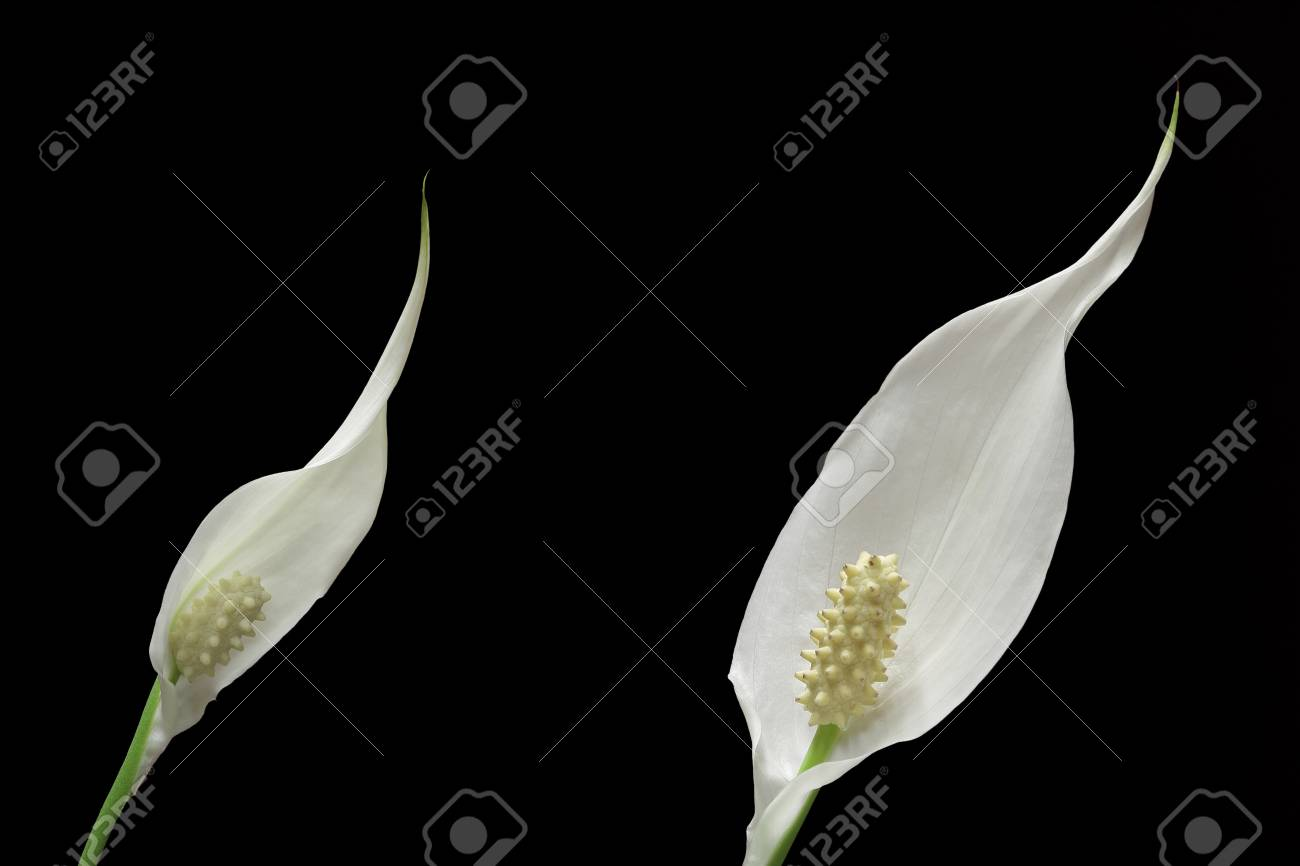 Two peace lily plant flowers on black background stock photo stock photo two peace lily plant flowers on black background izmirmasajfo