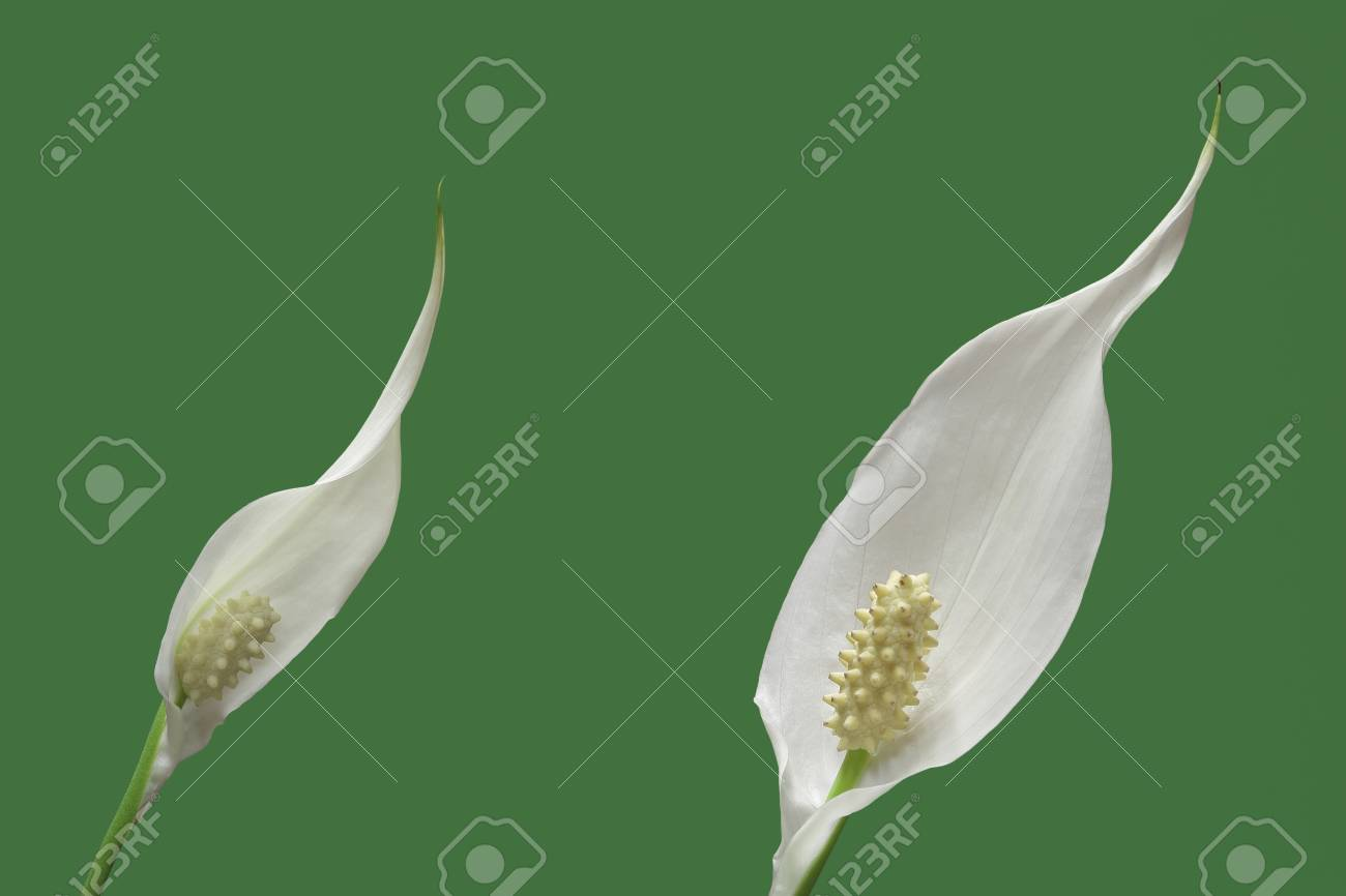 Two peace lily plant flowers on green background stock photo stock photo two peace lily plant flowers on green background izmirmasajfo