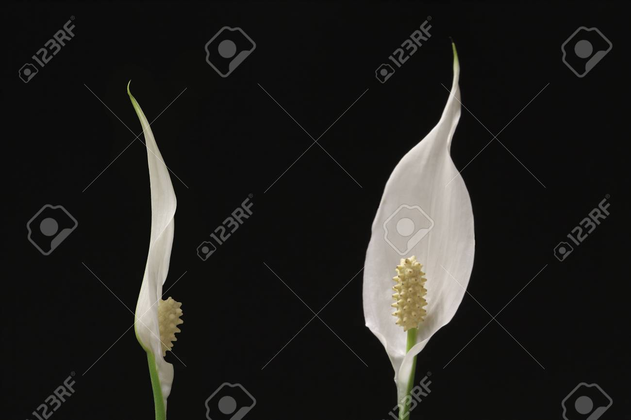 Two flowers of peace lily houseplant on black background stock photo stock photo two flowers of peace lily houseplant on black background izmirmasajfo