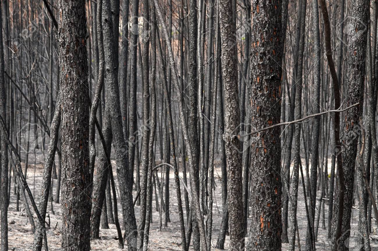 Burned forest after a huge fire in Portugal Stock Photo - 15292402