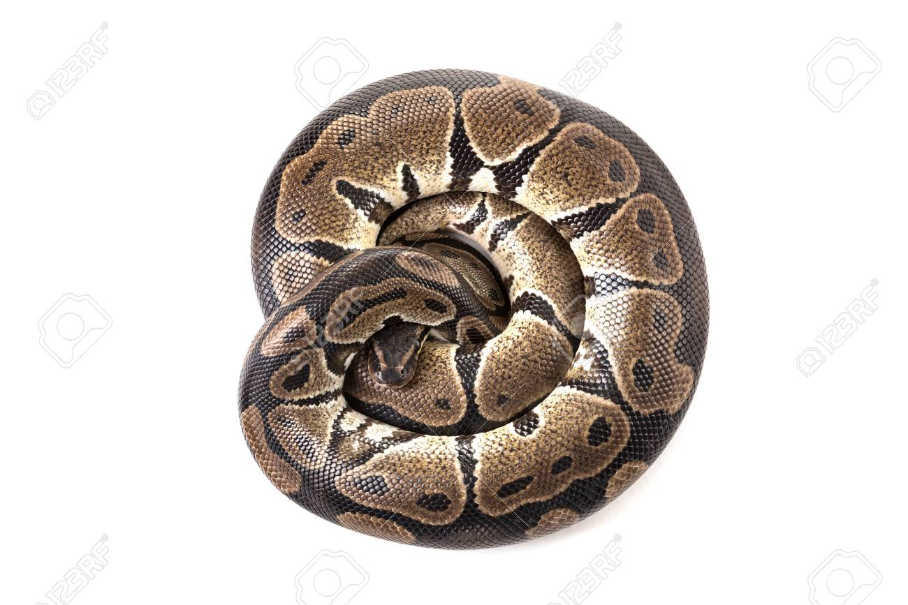 Beautiful python isolated in a white background