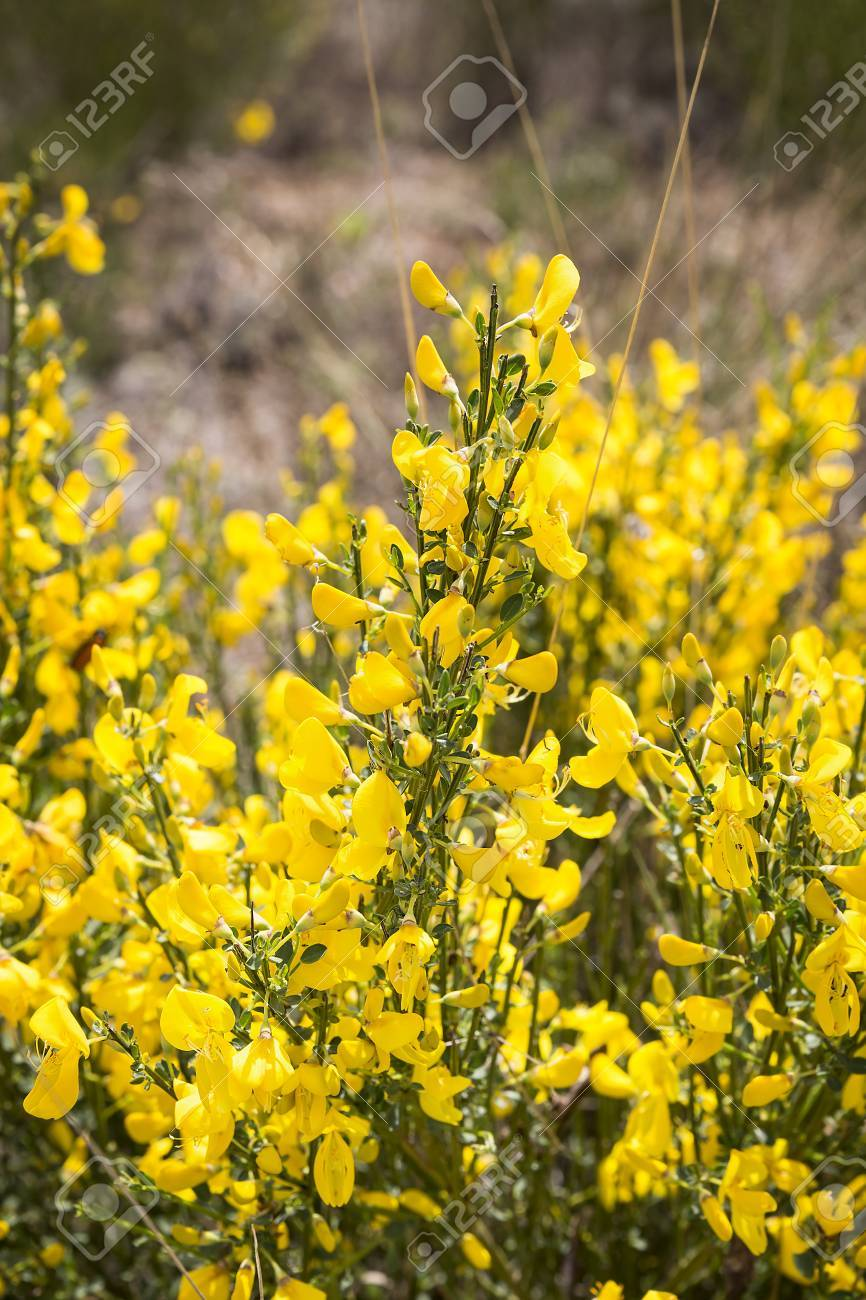 Cytisus Oromediterraneus Bush Flowered With Its Yellow Flowers Stock