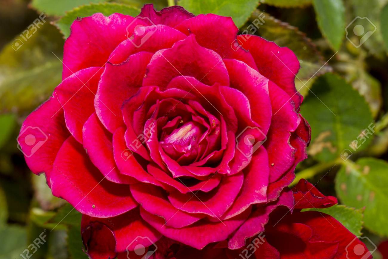 Primer Plano De Rosa Roja Stock Photo Picture And Royalty Free