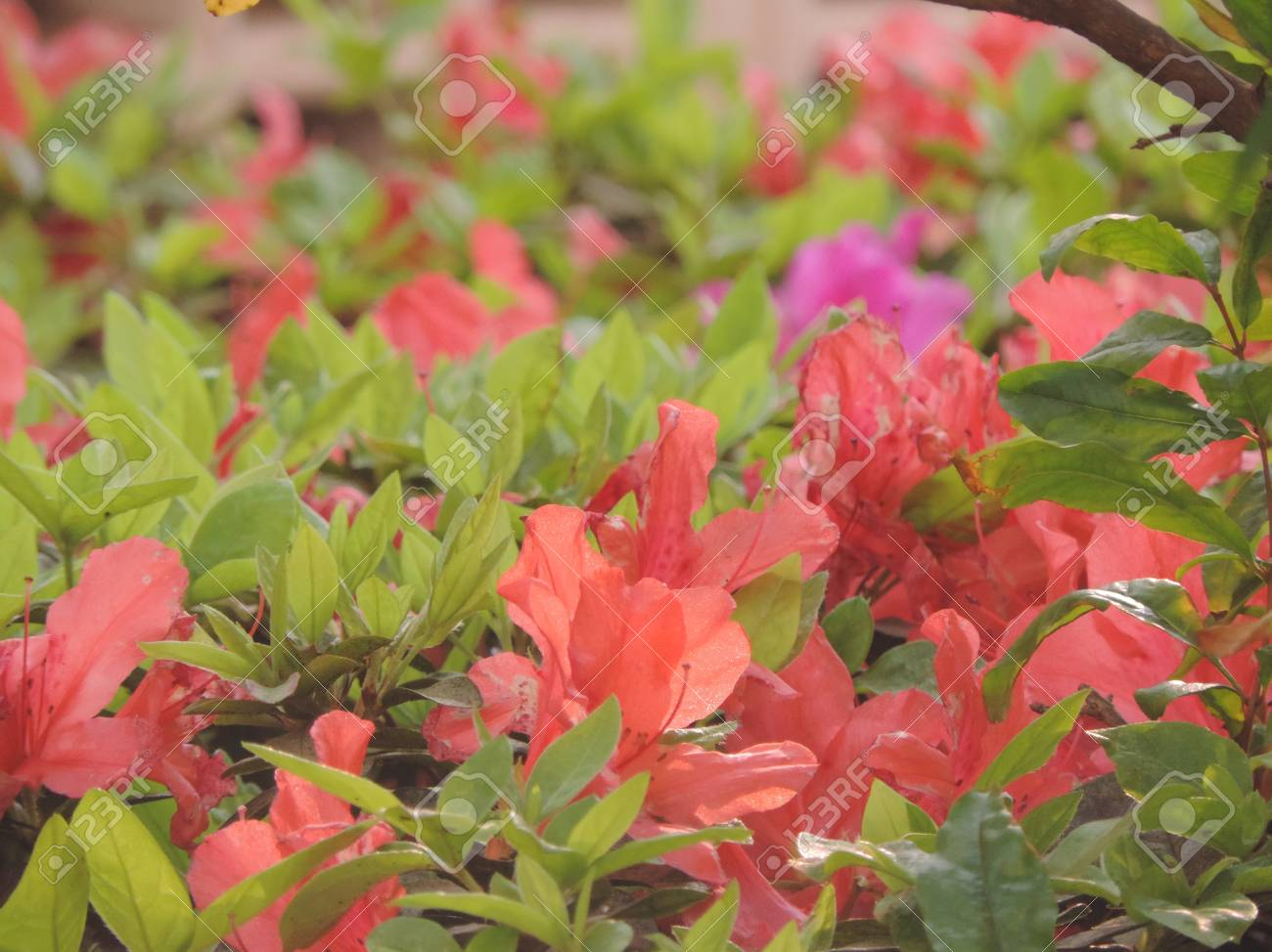 Salmon Colored Flowers In The Green Foliage Stock Photo, Picture And ...
