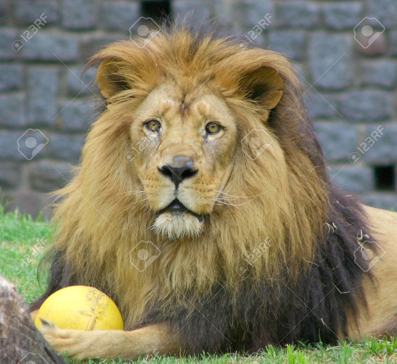 lion - 294157