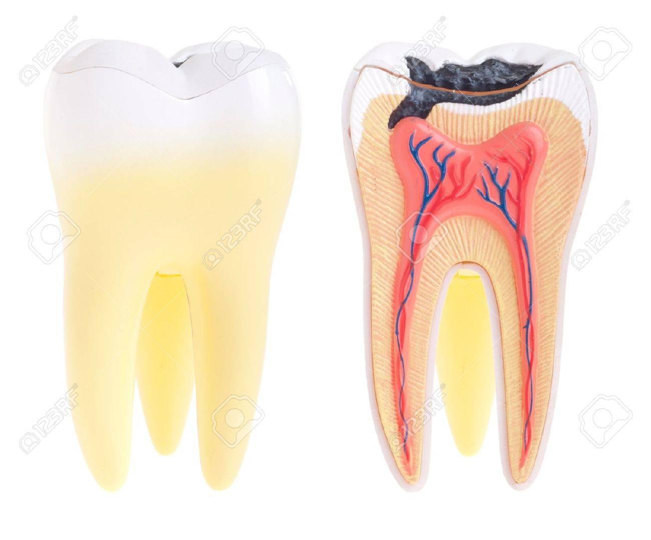 Anatomie (vital Zahn, Struktur, Knochen, Bänder) Isolated On White ...