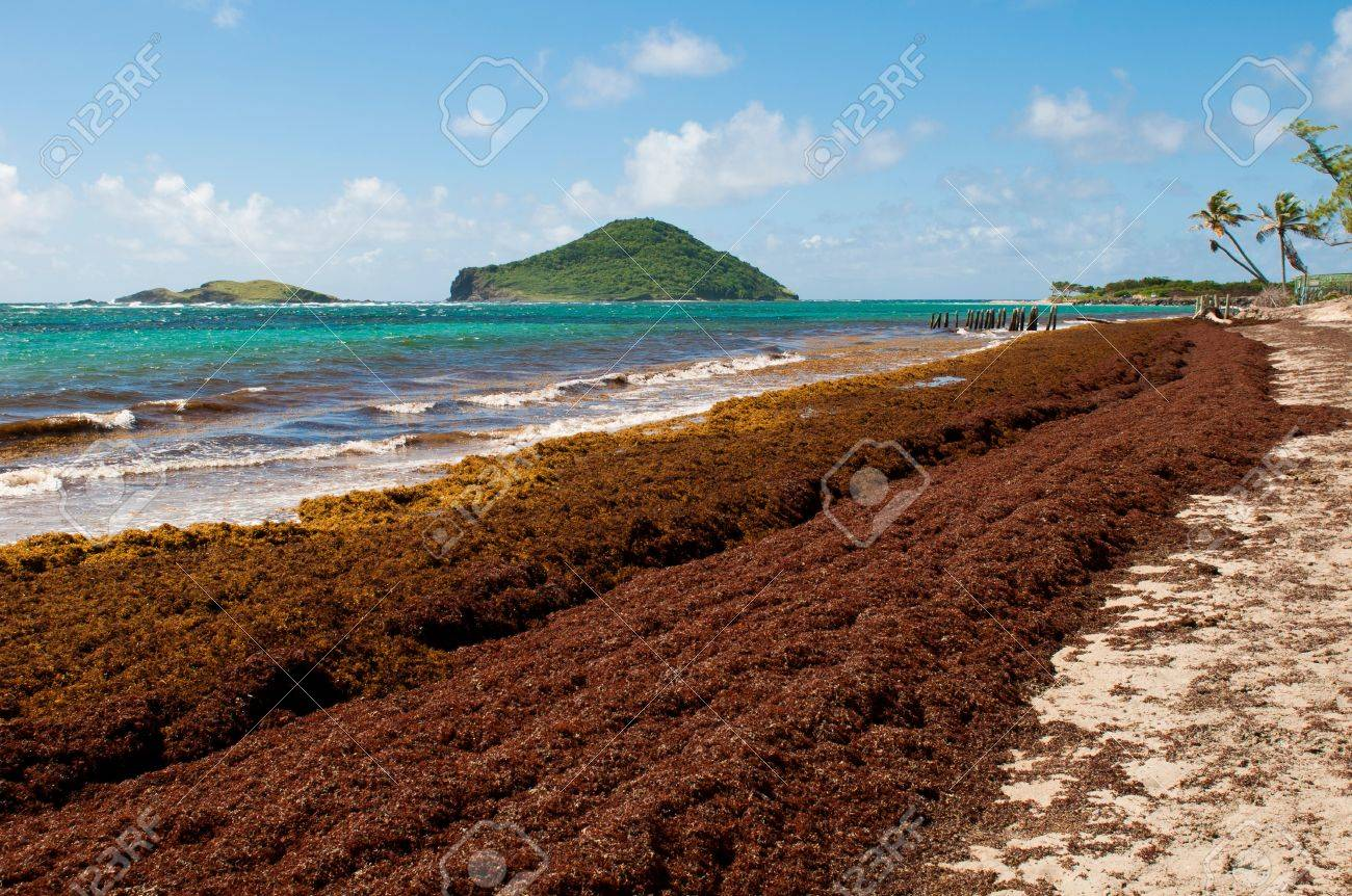 deserted beach at Vieux Fort, Saint Lucia (algaes and seaweeds at the coast due to hurricane season) Stock Photo - 16493819
