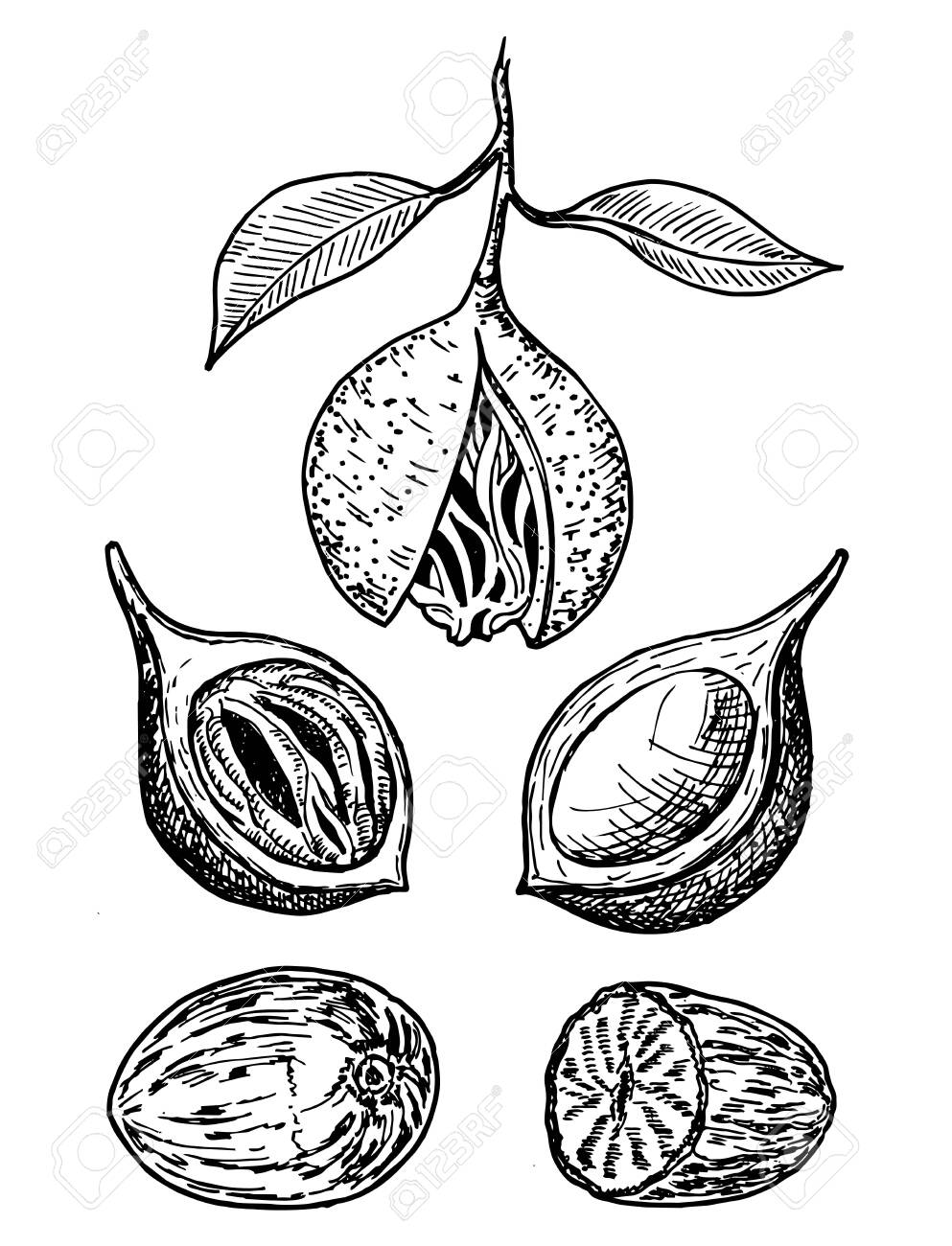 Nutmeg spice vector sketch. Ground seasoning nut. Dried seeds and fresh mace fruits - 131908090