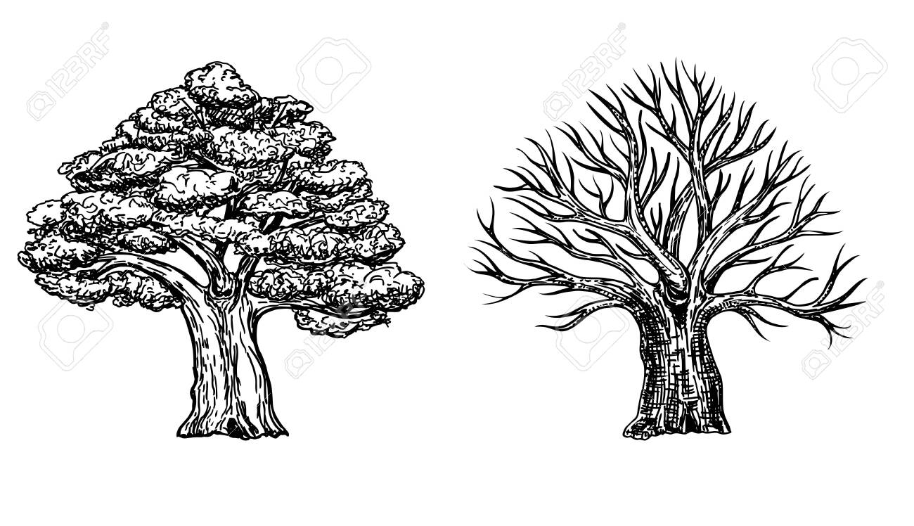 Oak With Leaves And Winter Oak Without Leaves Vector Hand Drawn Royalty Free Cliparts Vectors And Stock Illustration Image 153029552