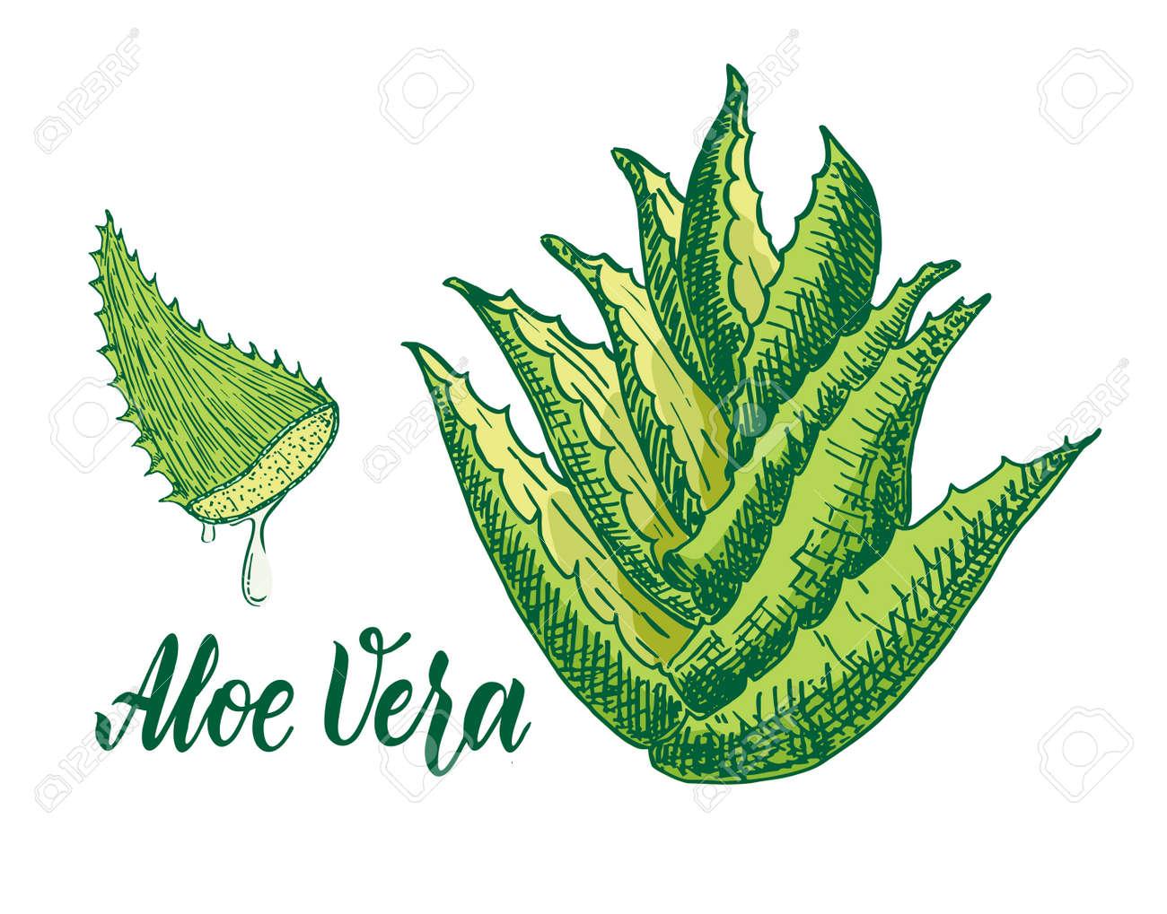 Vector hand drawn botanical aloe vera. Aloe plant, branch, aloe juice sketch. Collection with engraving. - 169743679