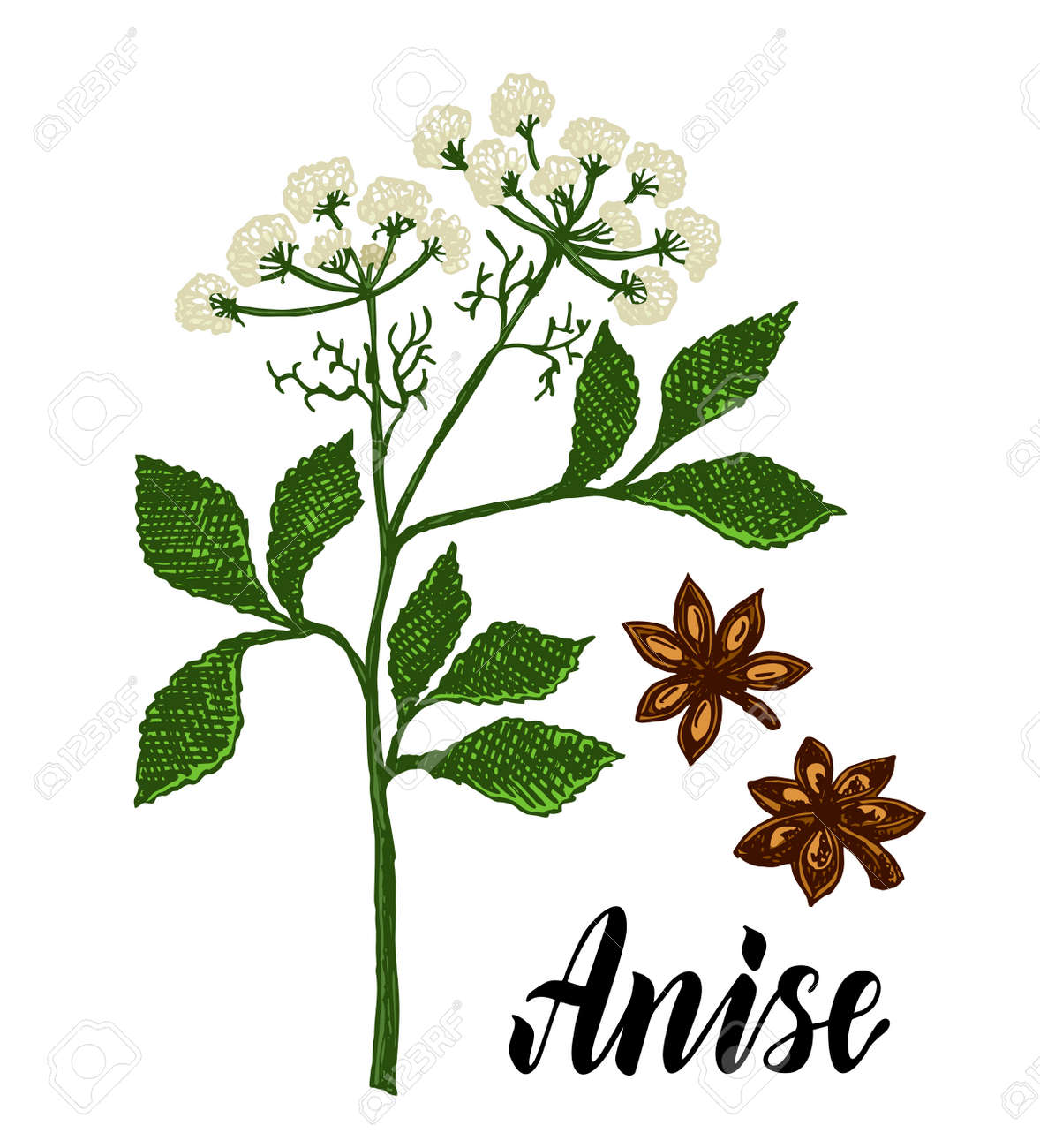 Anise herbal illustration. Botanical sketch style. Anise branch, anise leaves and seeds. Isolated medical flower and leaves. For packaging tea, condiment, oil. Botanical plant vector illustration. - 169743681
