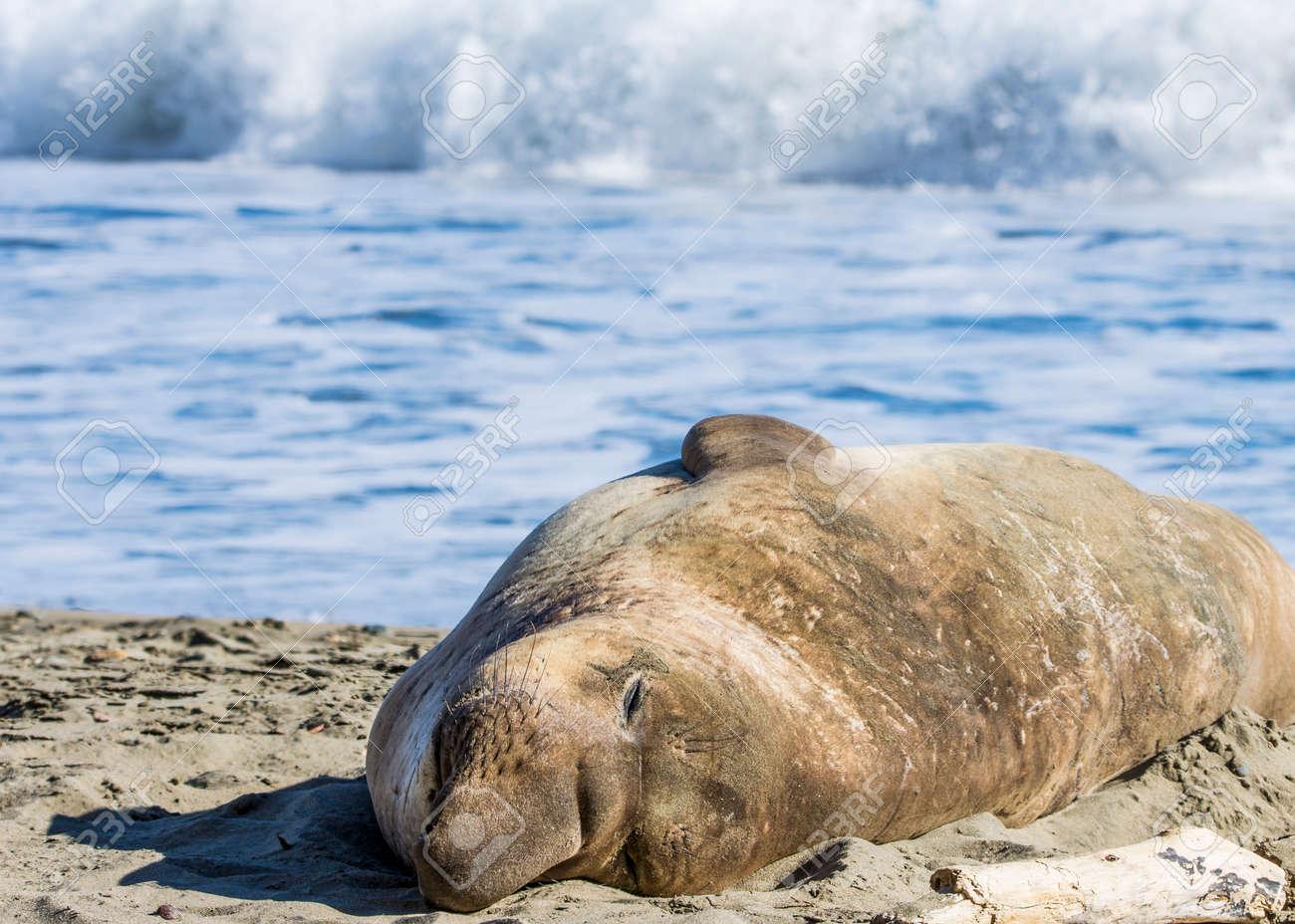 Bull Elephant Seal on San Simeon Beach - California. - 158803406