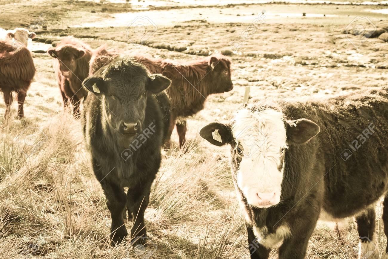 Highland Cattle Calf Scottish Highlands Calves