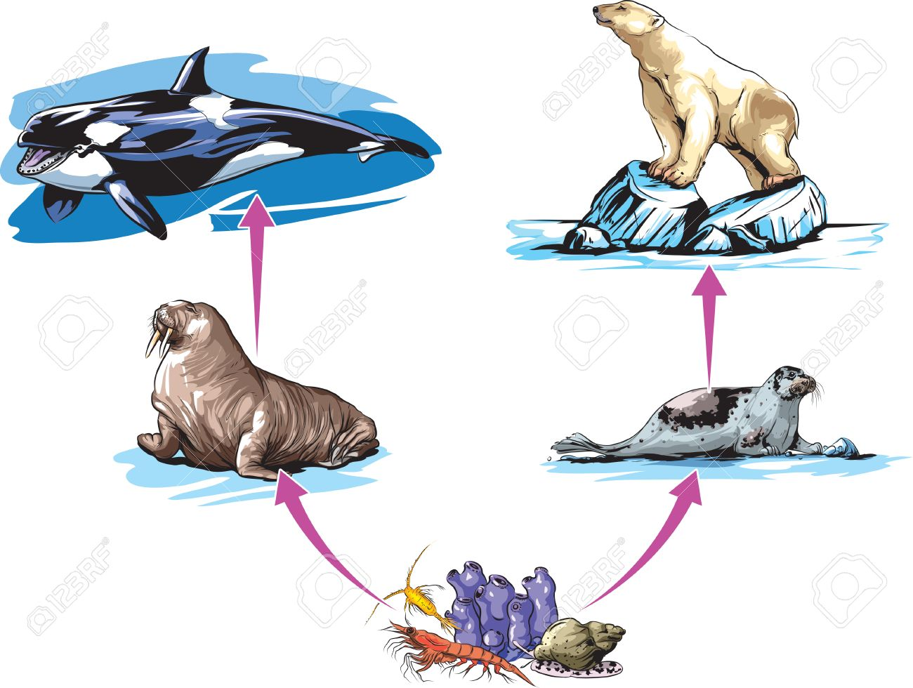 North Pole Food Chain Example Royalty Free Cliparts Vectors And