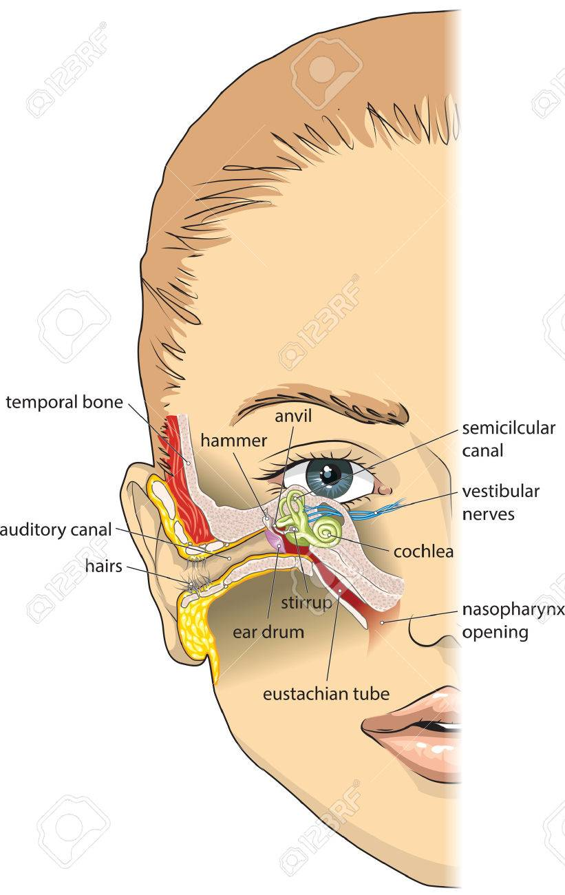 Basic Ear Anatomy Royalty Free Cliparts, Vectors, And Stock ...