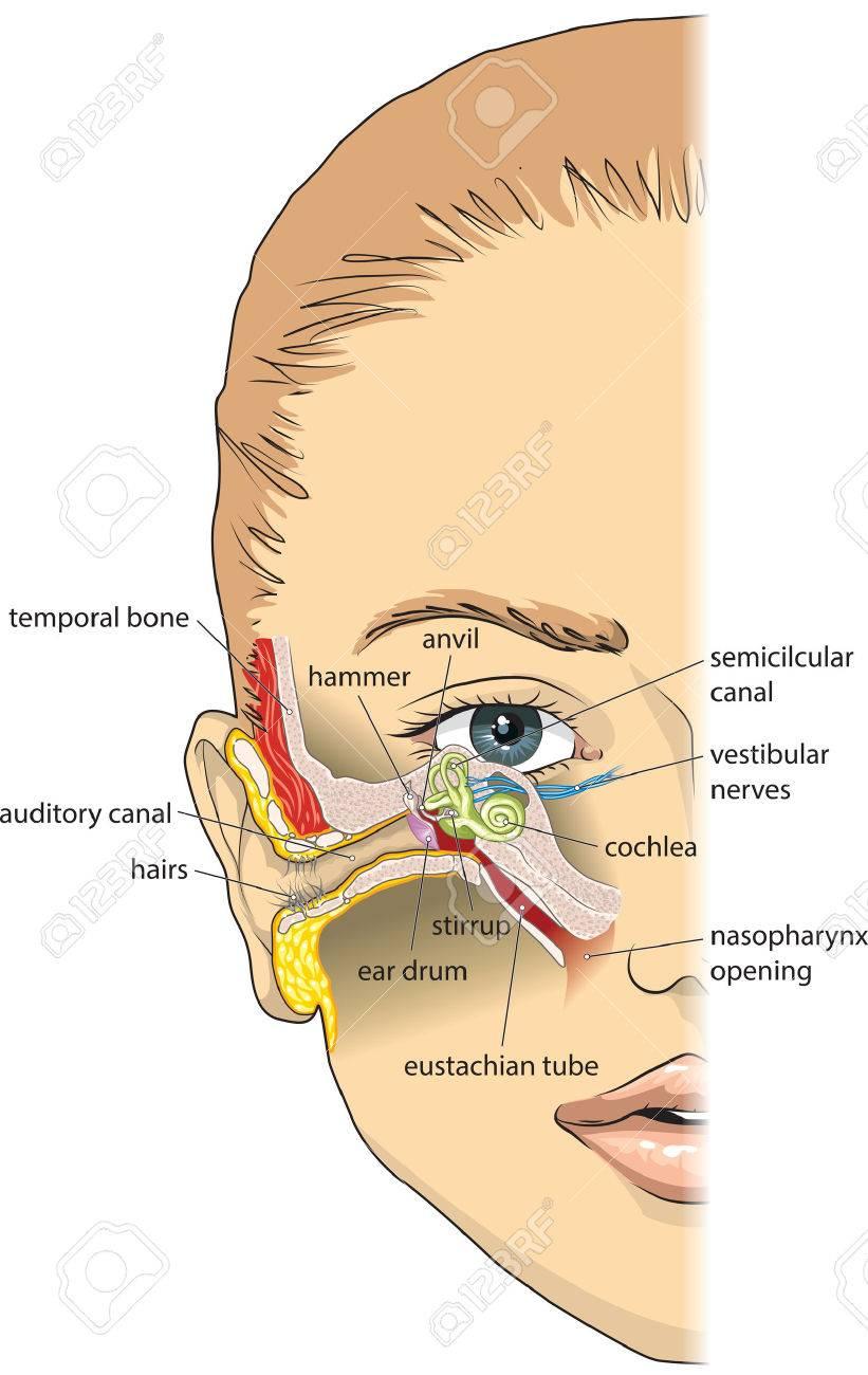 La Anatomía Del Oído Básica Ilustraciones Vectoriales, Clip Art ...