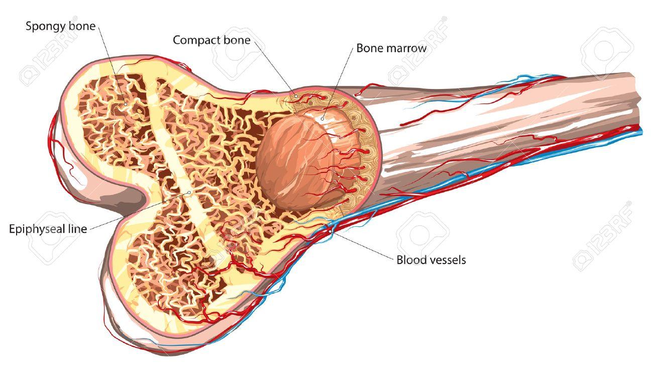 Estructura ósea A Largo Ilustraciones Vectoriales, Clip Art ...