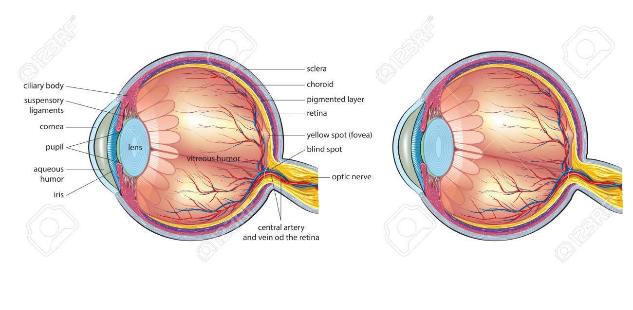 Anatomía Del Ojo Humano Ilustraciones Vectoriales, Clip Art ...