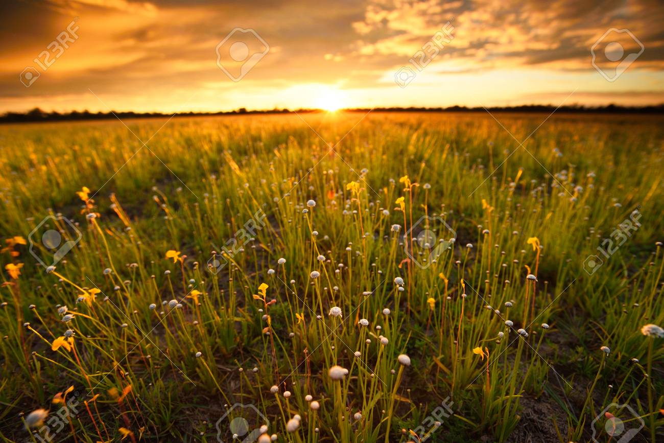 Flower field sunset Flower Vintage Background Flower Field Before Sunsetfield Of Flowers Thailandflower Field On Clear Day 123rfcom Flower Field Before Sunsetfield Of Flowers Thailandflower Stock