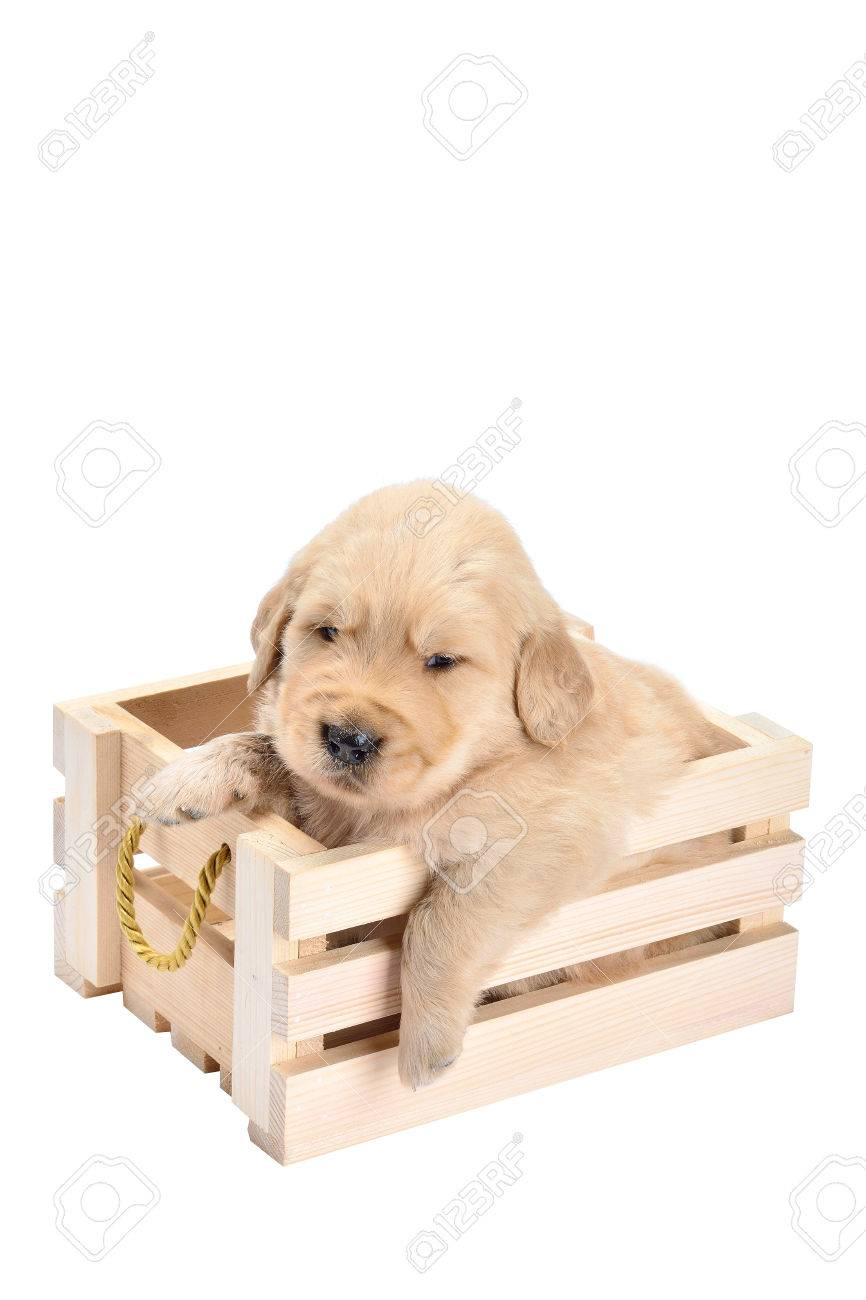 Baby Dog Breed Labrador Is A Lovely Bright Puppies In Basket Stock