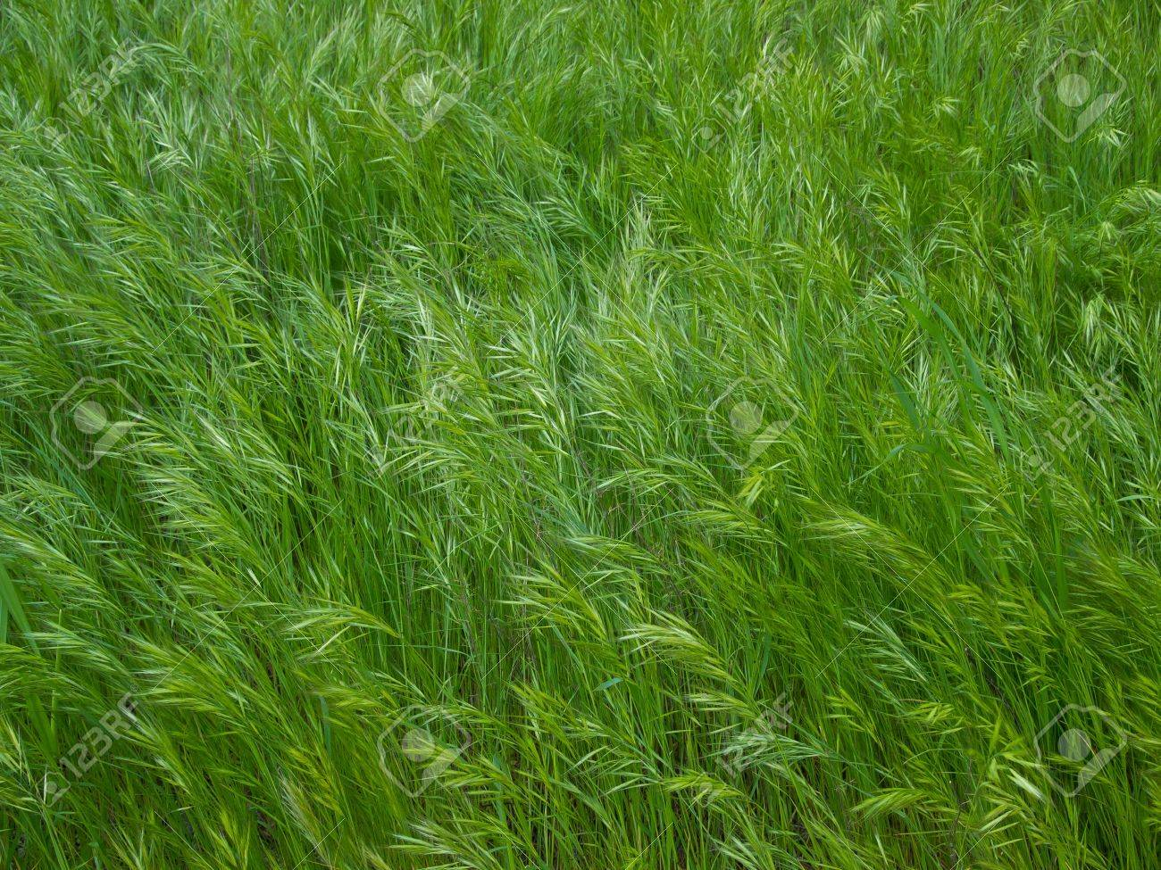 Texture with green wire grass Stock Photo - 12538544