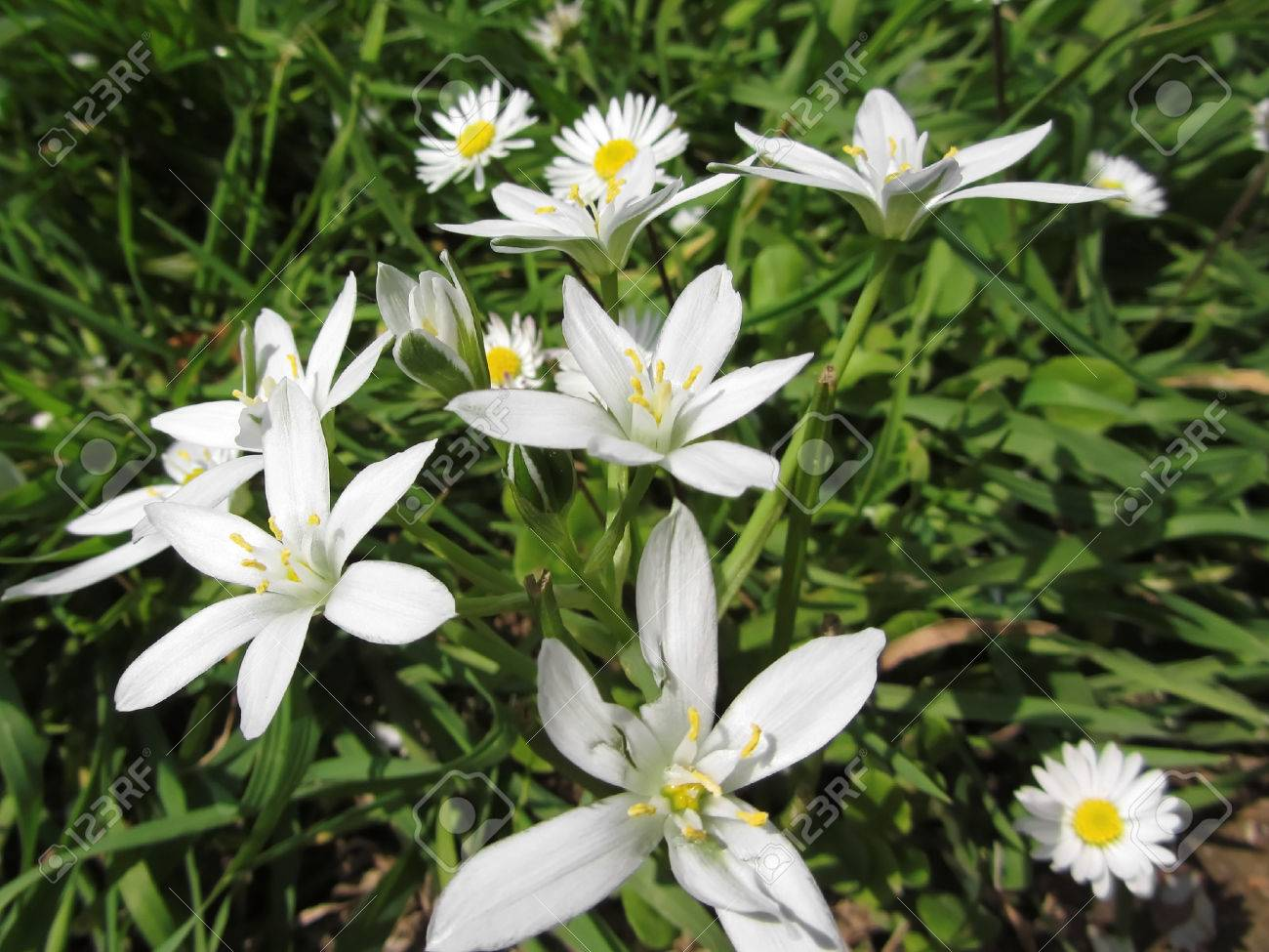 Close-up Of White Star Of Bethlehem Flowers And Daisies In ...