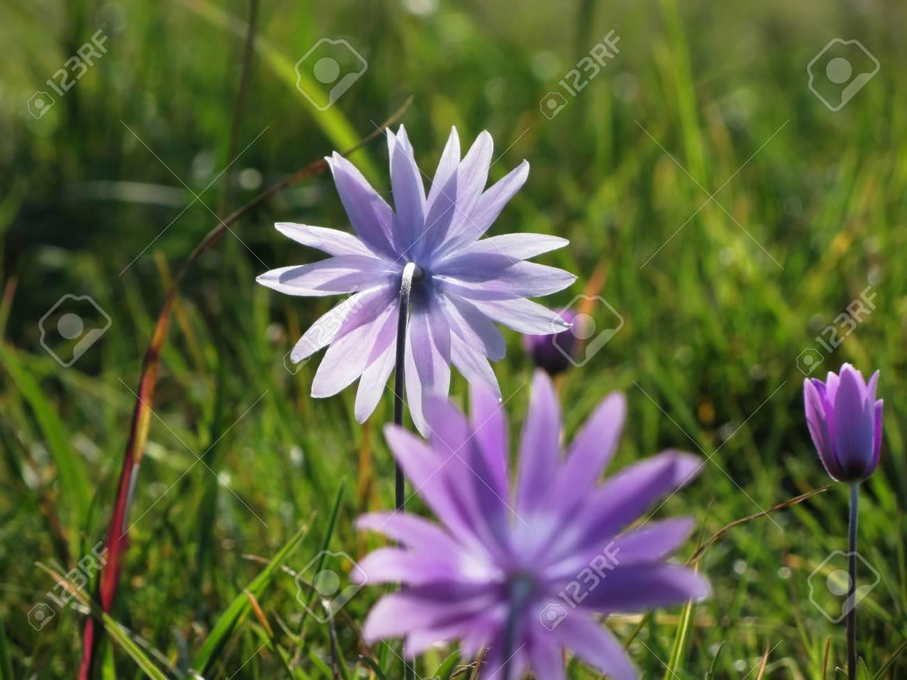Purple Daisy Flowers On Green Background Tuscany Italy Stock