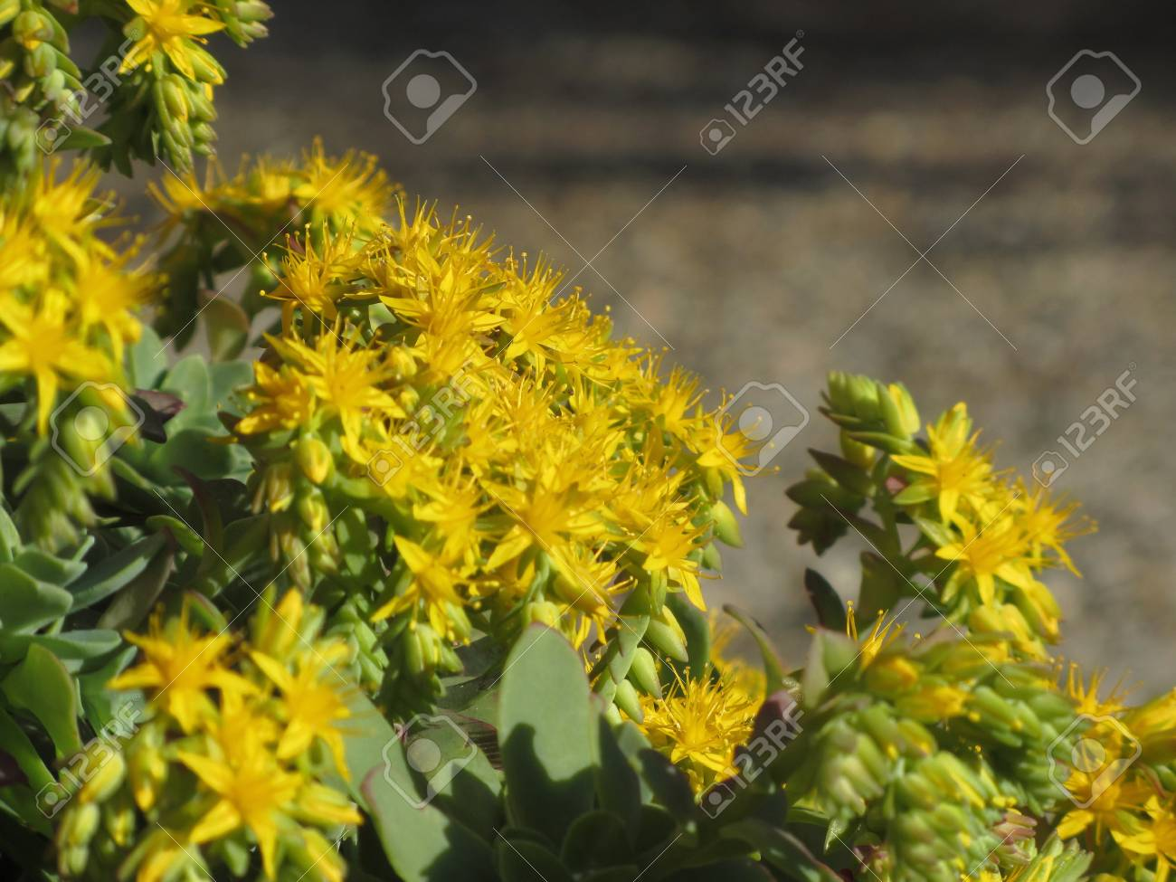 Yellow flowering sedum palmeri plant succulent plant with yellow stock photo yellow flowering sedum palmeri plant succulent plant with yellow flowers mightylinksfo