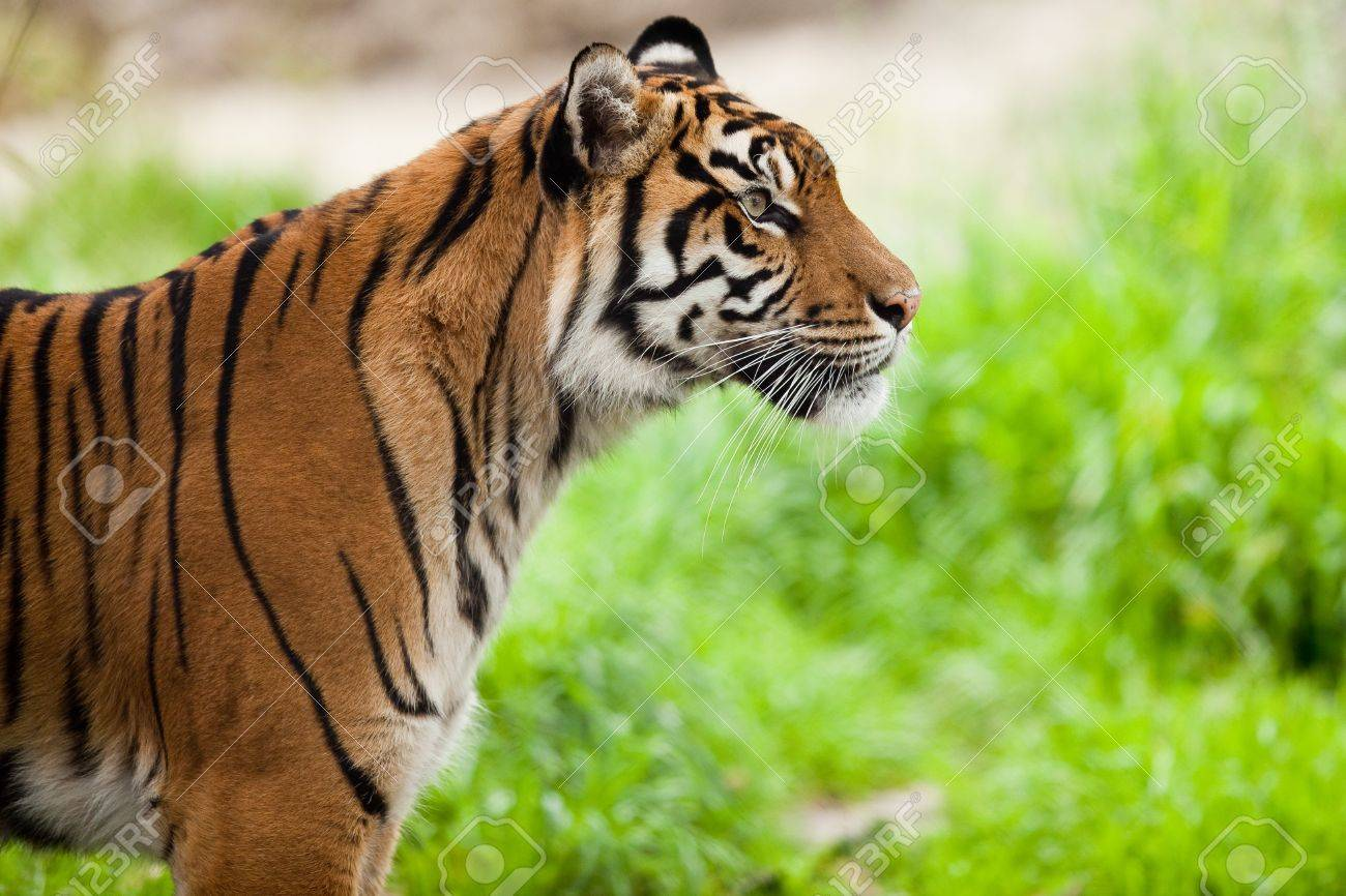 Tiger (Panthera tigris).  Close-up portrait of a tiger observing its territory. Stock Photo - 7516616
