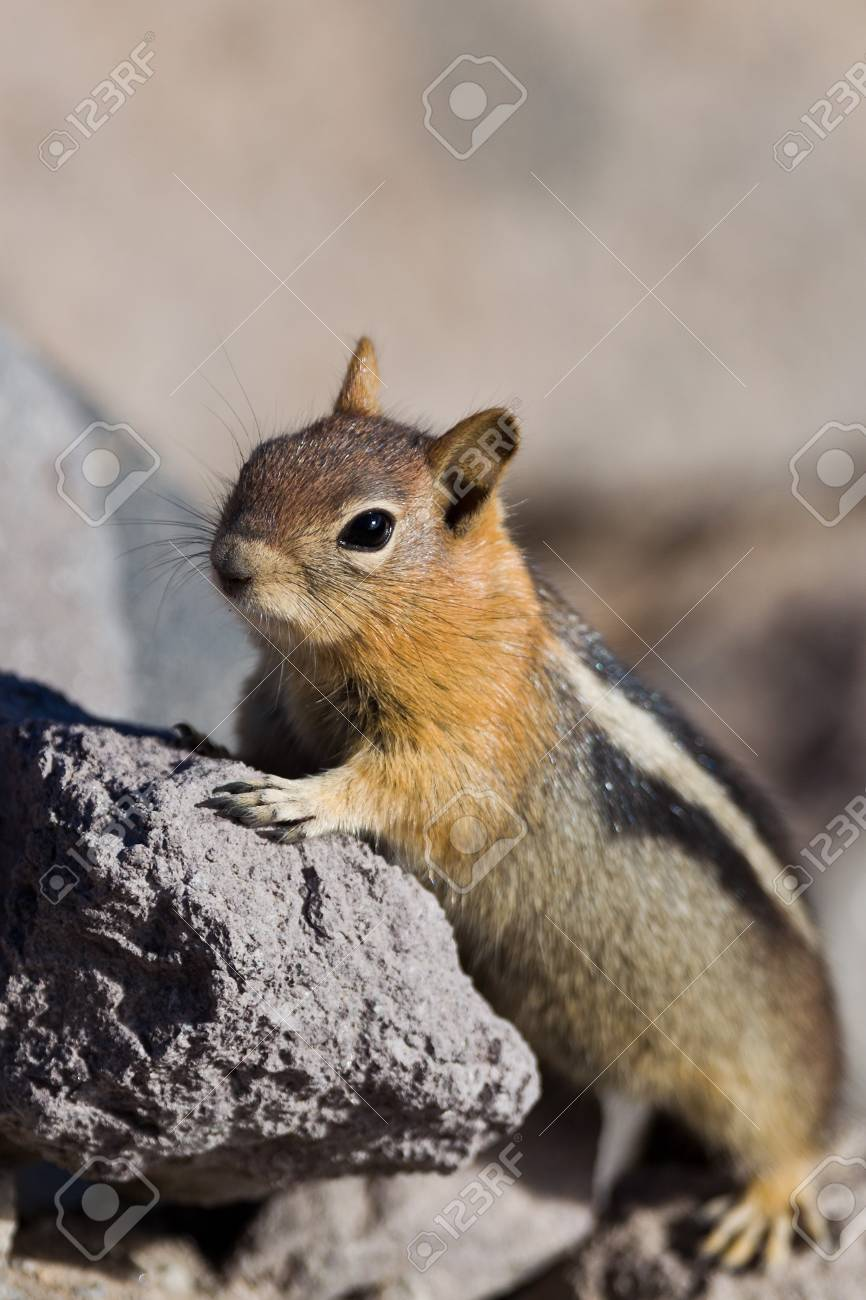 Golden-mantled ground squirrel  Callospermophilus lateralis   The golden-mantled ground squirrel is a type of ground squirrel found in mountainous areas of western North America Stock Photo - 20389253