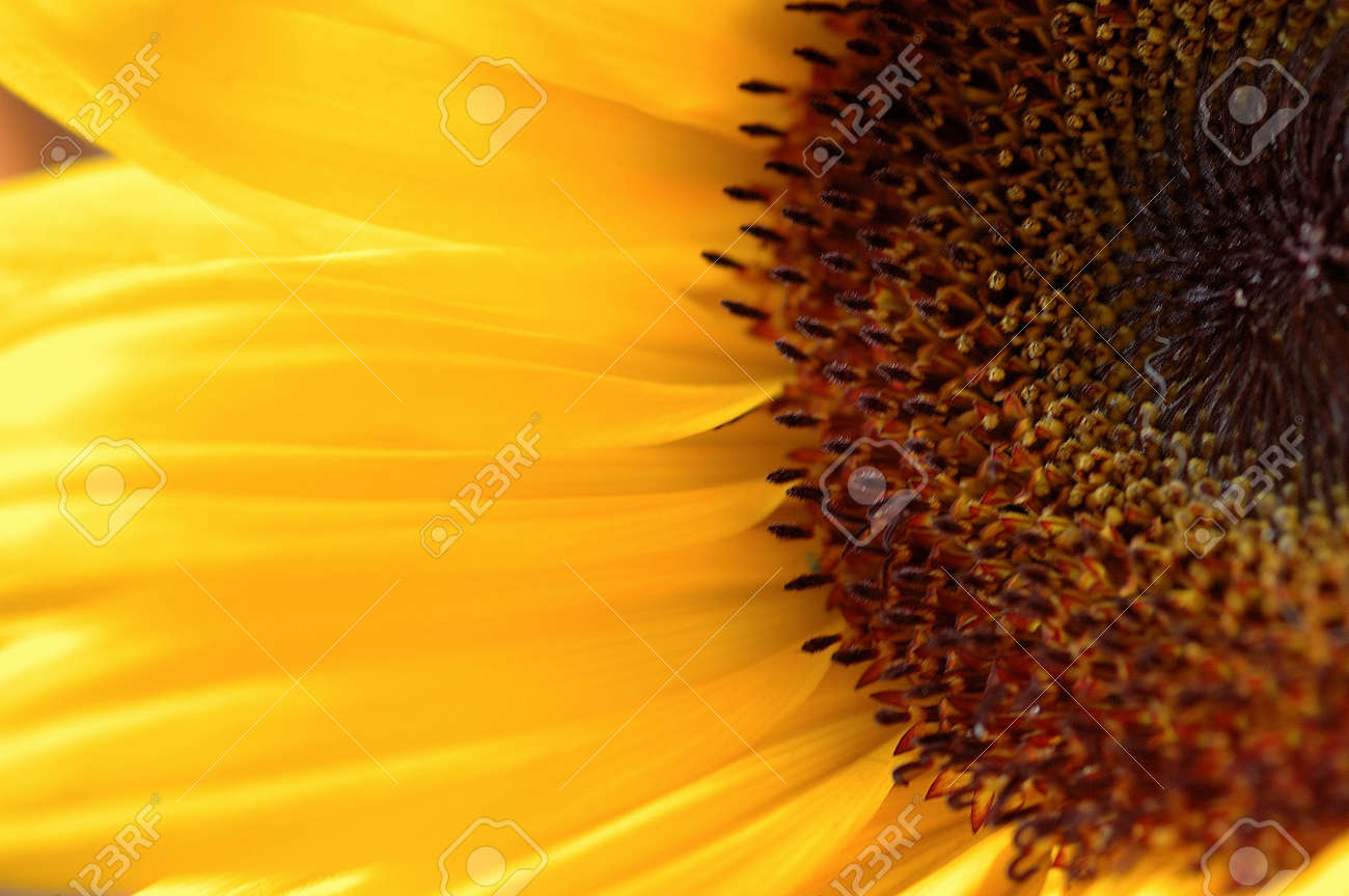 Capt Mondos Blog » Sunflower
