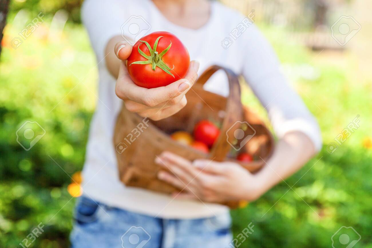 Gardening and agriculture concept. Young woman farm worker hands holding basket picking fresh ripe organic tomatoes in garden. Greenhouse produce. Vegetable food production - 122423393