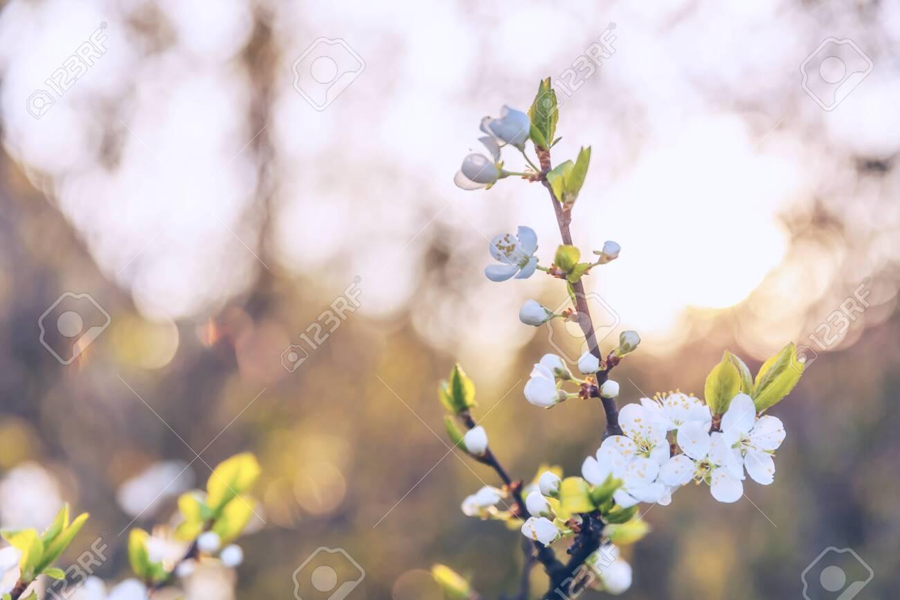 Beautiful White Cherry Blossom Sakura Flowers In Spring Time