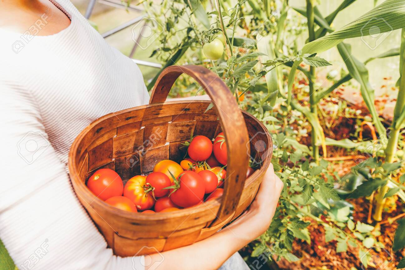 Gardening and agriculture concept. Woman farm worker hands with basket picking fresh ripe organic tomatoes. Greenhouse produce. Vegetable food production. Tomato growing in greenhouse - 142250242