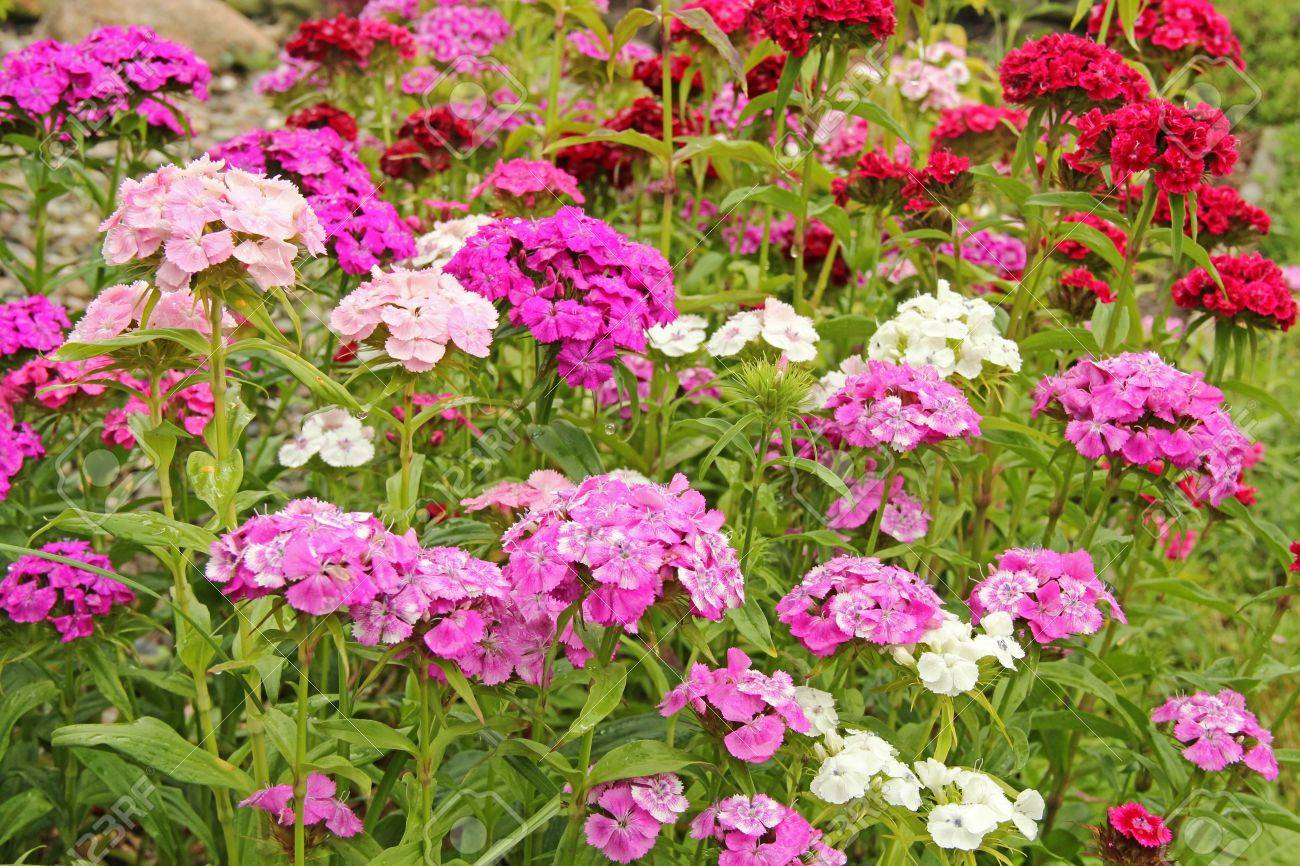 Chinese Pink Colored Flowers On A Garden Rockery Stock Photo