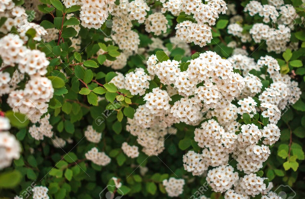 Wild white flower bushes in the blurred background stock photo stock photo wild white flower bushes in the blurred background mightylinksfo