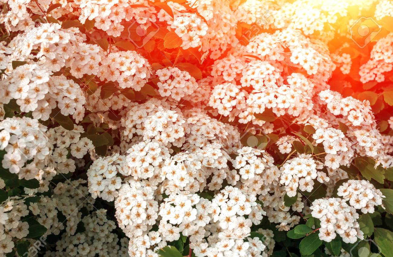 Wild White Flower Bushes At Summer Sunrise Stock Photo Picture And