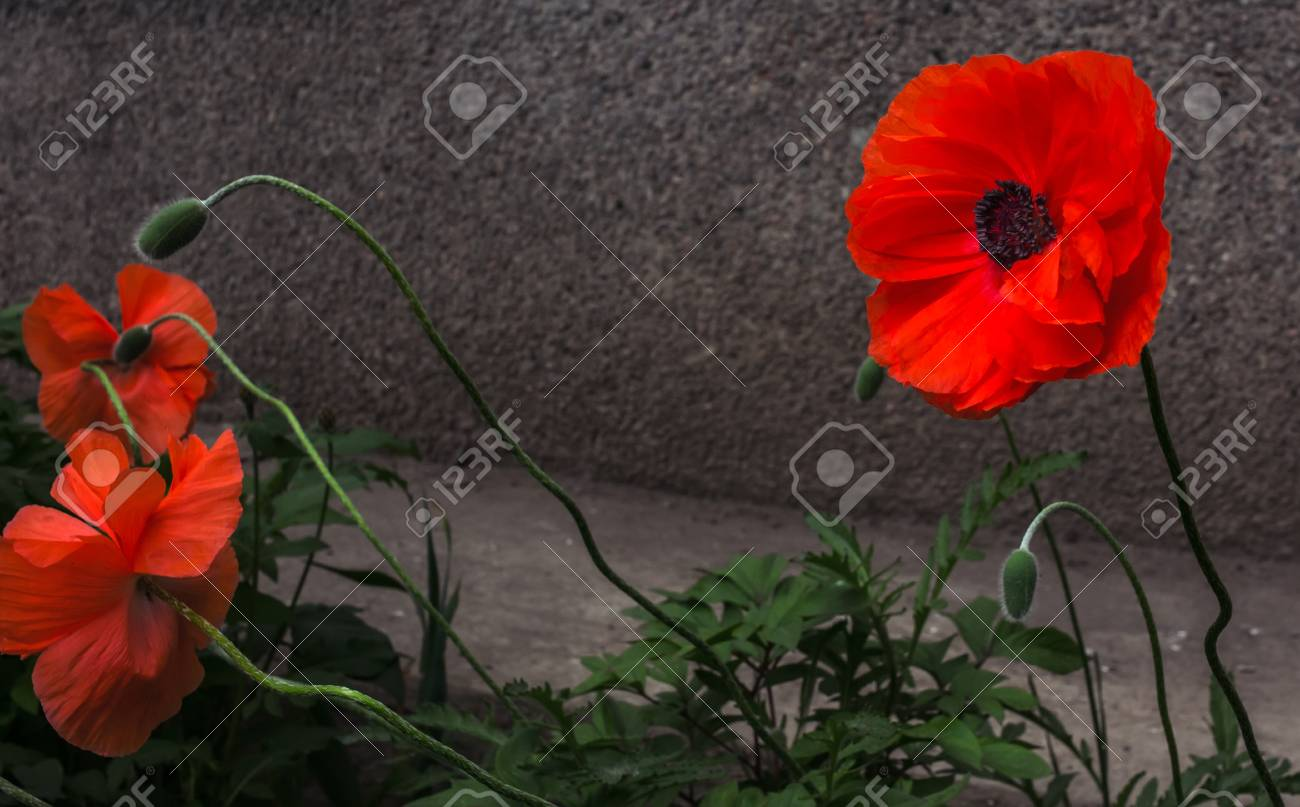Wild poppy flower a symbol of remembrance stock photo picture and stock photo wild poppy flower a symbol of remembrance mightylinksfo