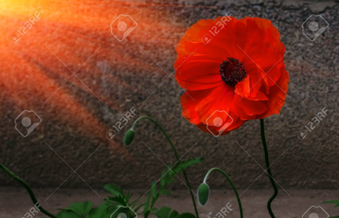 Poppy symbol of remembrance image collections symbol and sign ideas wild poppy flower in the sun a symbol of remembrance stock photo wild poppy flower in buycottarizona