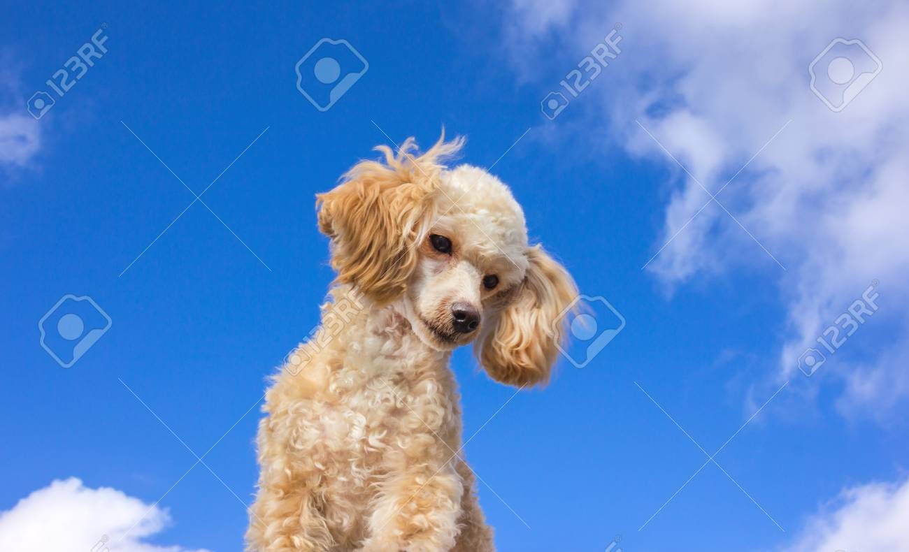 Cute Poodle Puppy Of Cream Color Pet At The Background Of The Stock Photo Picture And Royalty Free Image Image 82013550